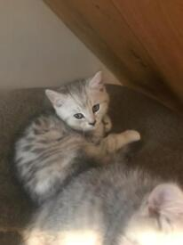 Ready to leave. Gorgeous GCCF registered silver spotted kittens