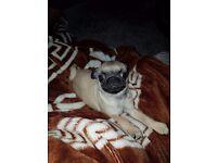 Lou lou beautiful pedigree kc pug