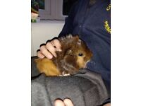Beautiful baby guinea pigs for sale...