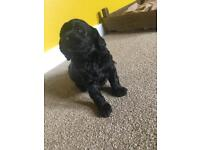 Cockapoo Labrador mix Puppies ONLY 1 LEFT!