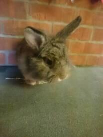 Lionhead X Lop Buck/Boy Rabbit
