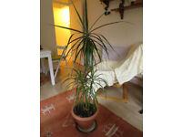 palm plant - URGENT
