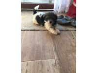 Shih tzu and bishon puppies for sale