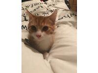 Ginger & white male kitten 15 weeks