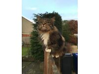 Missing cat Loanhead area