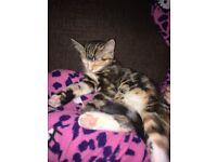 Lost baby girl tabby kitten