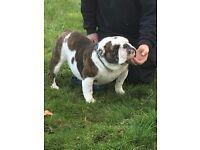 English bulldog female 4yrs old