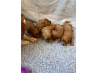 Cavapoo puppies for sale 3 girls 2 boys