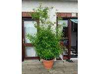 Fabulous mature 8ft tall bamboo plants in large pots.