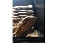 Bearded dragon with viv