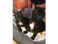 KC REGISTERED FRENCH BULLDOG PUPPYS LAST 2 REDUCED