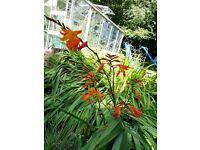 Crocosmia Plant 20bulbs for £1!