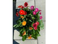 gerbera garvinea flower plants