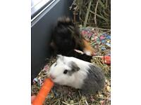 X 2 GUINEA PIGS AND CAGE 5 MONTHS OLD TO REHOME