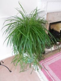 GIANT HEALTHY SPIDER PLANT