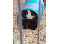 3 femlae guinea pigs for sale