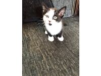 2 black and white kittens