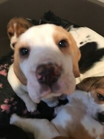 Beagle Pups KC Reg Ready Now