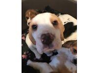 Beagle Pups KC Reg Ready Now