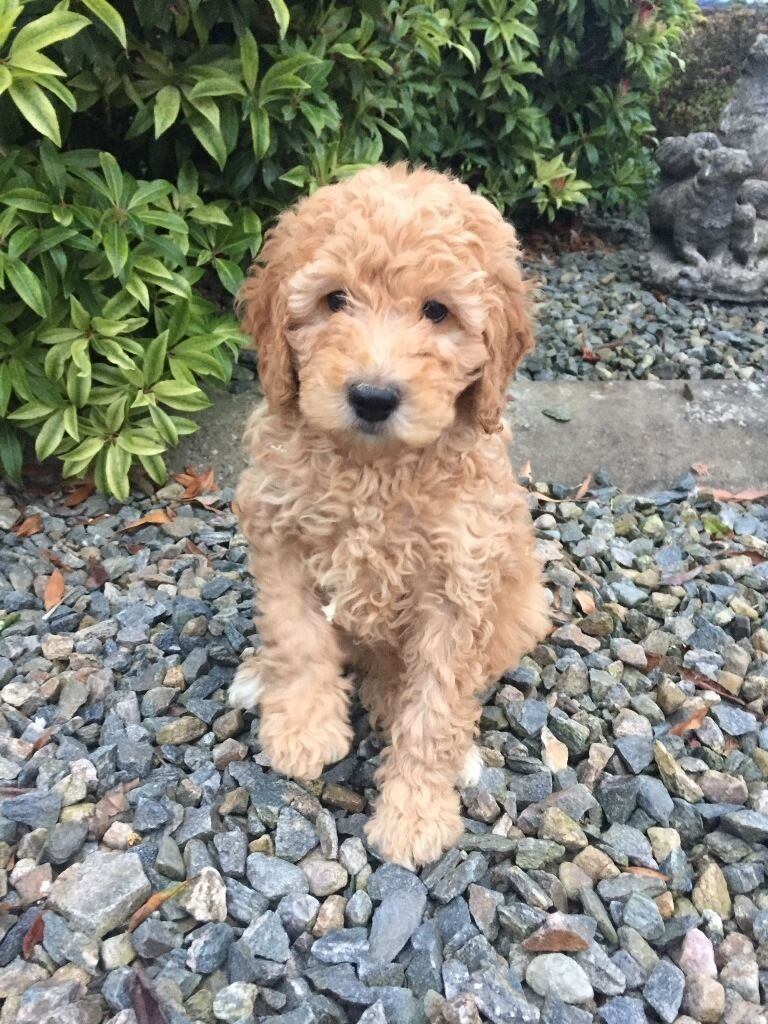 Apricot cockapoo puppies | in Kirkcaldy, Fife | Gumtree