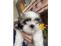 Full shih tzu puppy male
