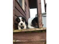 Beagle pups