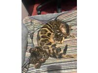 Champions Pedigree TICA registered Bengal Kittens