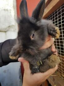 beautiful lionhead baby rabbits ready now