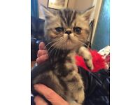 Exotic-Persian Short Hair Kittens for sale.
