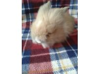 Baby Lionhead Rabbits For Sale