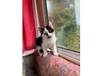 *LAST 1* Gorgeous Persian cross kittens
