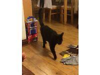 Beautiful black cat free