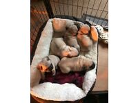 Gorgeous boy pugs puppies for sale. Ready for new homes 27th February