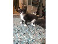 Half ragdoll kittens 1 boy 1 girl