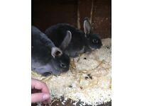 Two rabbits for sale must stay together