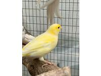 Canaries and budgies