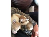 Two teacup chihuahua pups for sale