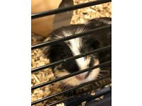 Two Guinea Pigs who need a loving home