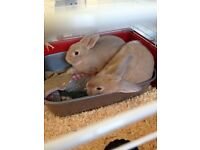 2 cream rabbits 7 month old