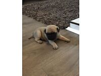 Pug puppys KC Reg and ready in 3 weeks £800