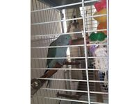 Blue Indian ringneck parrot with large cage for sale