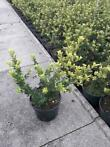Japanse hulst / Ilex crenata 'Green Hedge'