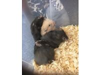 NEW! Fluffy, cute bay hamsters for sale!