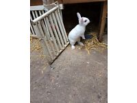 Dwarf Beautiful Cute Baby rabbit