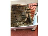 2 female mini lop rabbits plus indoor & outdoor hutch