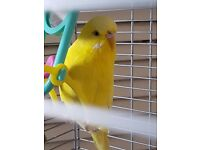 Budgie yellow