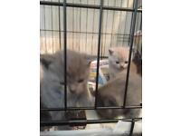 British shorthair kittens blue|colourpoint|grey