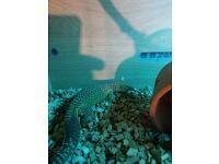 Akie monitor lizard