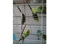 Budges for sale 12 weeks old very nice colour.s ring for details on 07594130137. Huyton