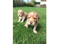 Lovely Labradoodle Puppies